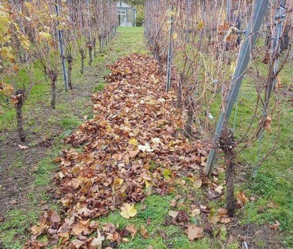 Winterklaar maken van de wijngaard